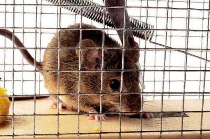 comment mettre fin aux problèmes des rats